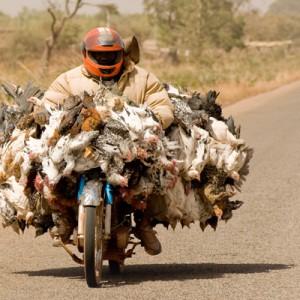 Pollos en moto